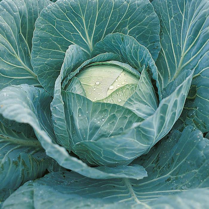 Белокочанная Крауткайзер F1 семена капусты белокочанной (Bejo / Бейо) крауткайзер.jpg