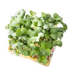 Семена для проращивания редиса Белокрайка (Гавриш)