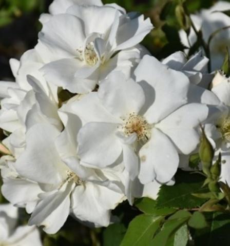 Роза парковая Морден Сноубьюти С3 30-35