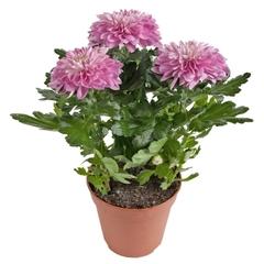 Хризантема зембла в цветовом ассортименте