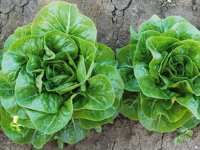 Каталог Ксиомара семена салата ромэн (Enza Zaden / Энза Заден) Ксиомара__2_.jpeg