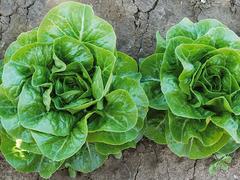 Ксиомара семена салата ромэн (Enza Zaden / Энза Заден)