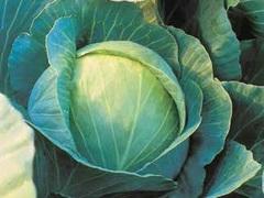 Куизор F1 семена капусты белокочанной (Syngenta / Сингента)