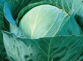 Белокочанная Рамко F1 семена капусты белокочанной (Syngenta / Сингента) Рамко_F1.jpg