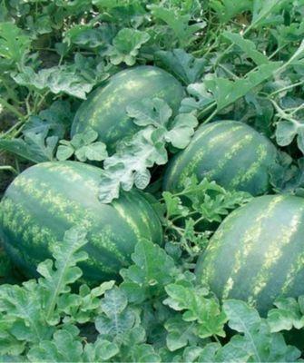 Красный Колоссео F1 семена арбуза (Seminis / Семинис) Колоссео_F1__Kolosseo_F1__семена_овощей_оптом.jpg