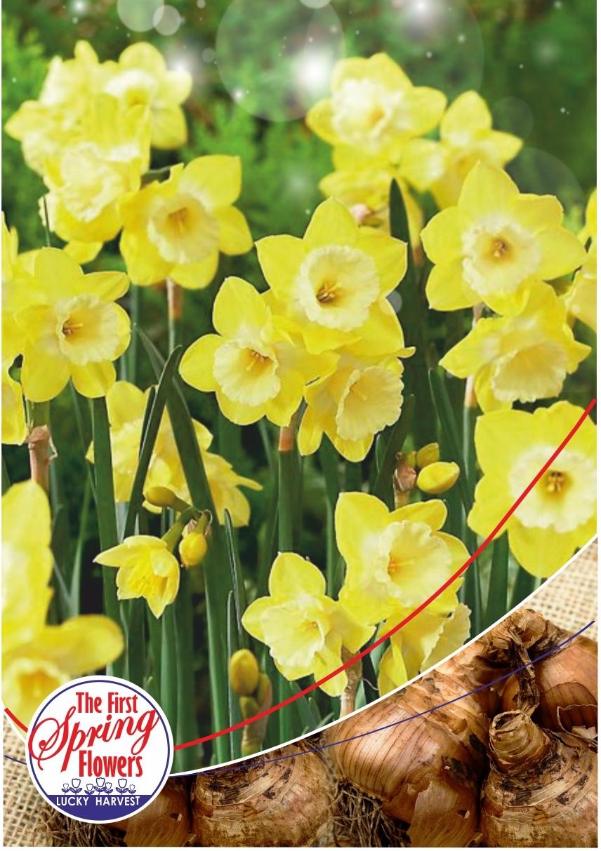Луковицы Нарцисса  Ботанического Многоцветкового