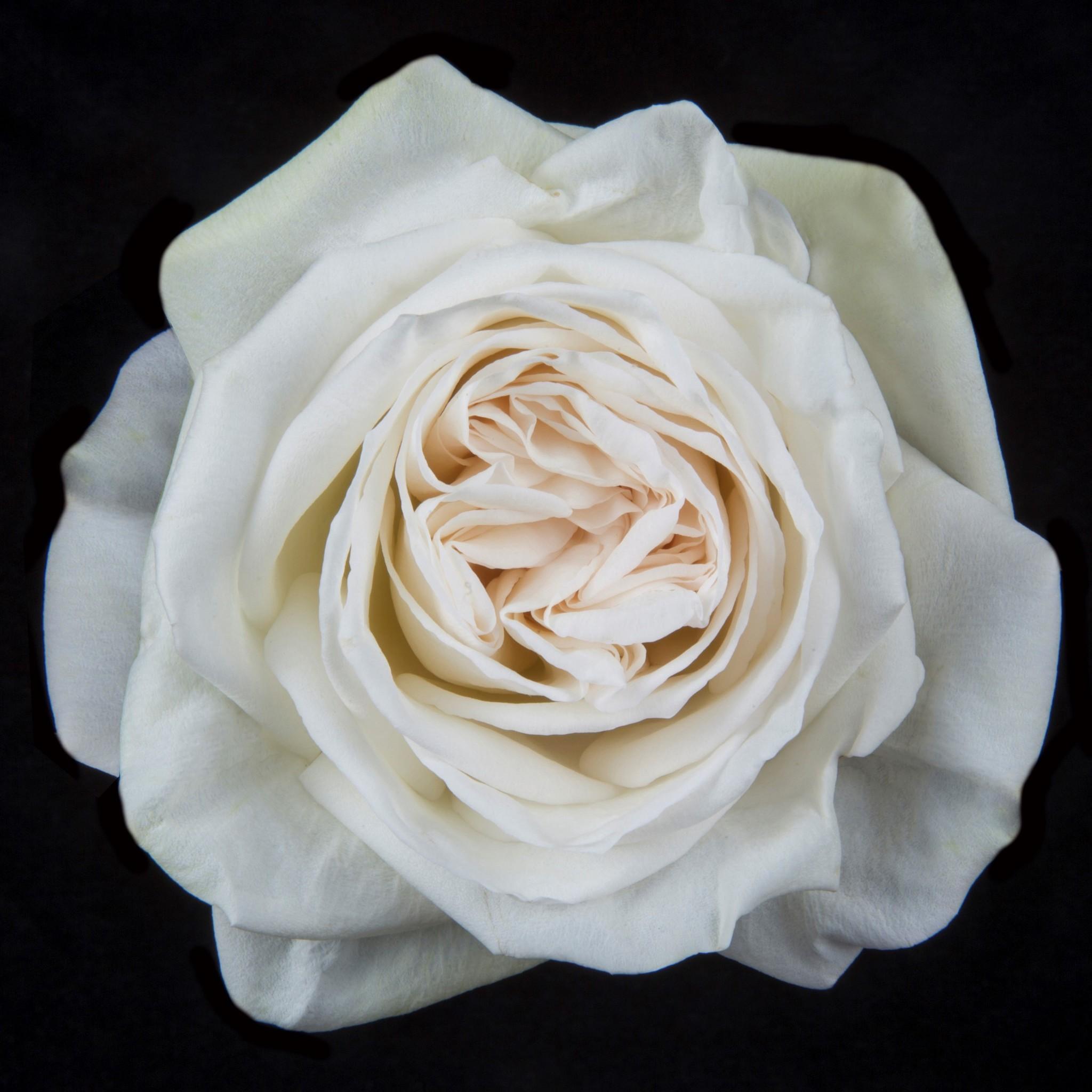 Роза Охара Вайт