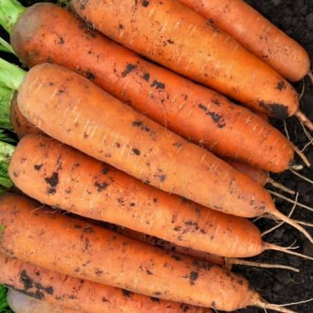 Bejo Cемена моркови Балтимор F1,  Bejo, 0,5 гр. морковь_балтимор-min.jpg