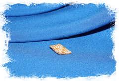 Конус праецелленс (Conus praecellens)