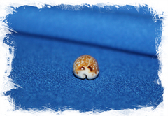 Cypraea labrolineata, Erosaria labrolineata