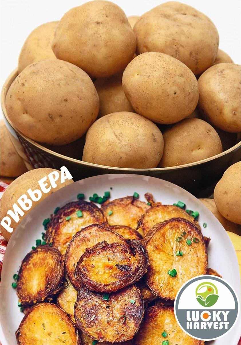 Семенной картофель РИВЬЕРА   ТМ LUCKY HARVEST (Украина)