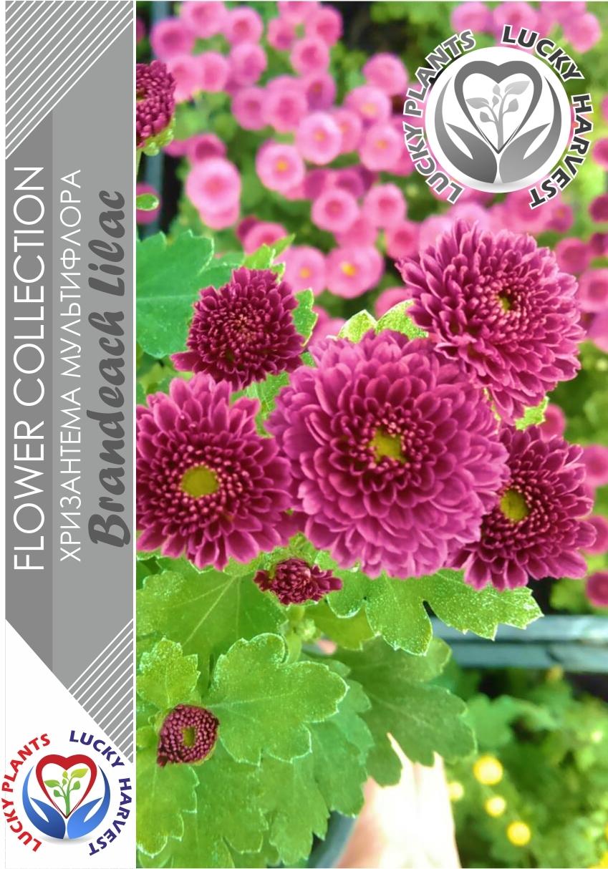 Хризантема  мультифлора  (Шаровидная) Брандбич  Лилак (Chrysanthemum multiflora Branbeach Lilac) ТМ LUCKY HARVEST