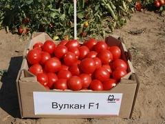 Вулкан F1 семена томата детерминантного (Nunhems / Нюнемс)