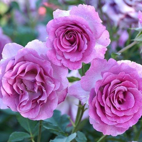 Роза плетистая Виолет Парфюм С6