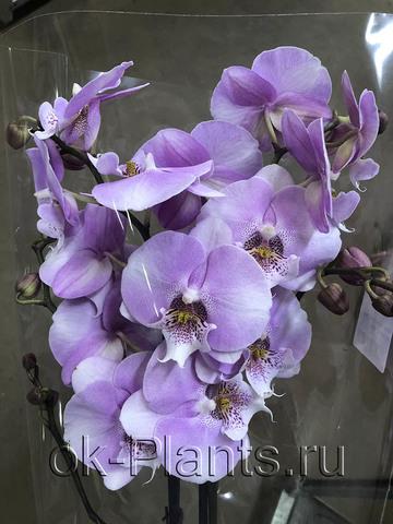 Фаленопсис Розовый Люкс, 2 ветки