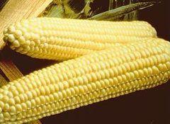 Спирит F1 семена кукурузы (Syngenta / Сингента)