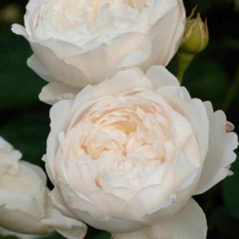 Роза английская душистая Глэмис Касл С6
