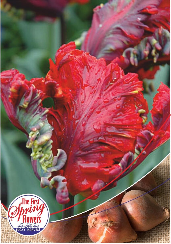 Луковицы Тюльпана Попугайного Позднего Rococo (Рококо) TM Jan de Wit en Zonen B.V. (количество в упаковке 3 луковицы)