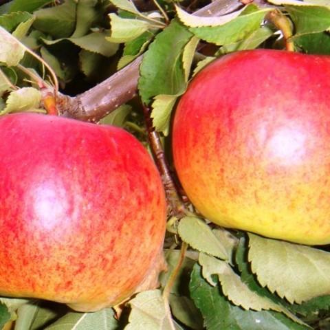 Яблоня (подвой 54-118, полукарликовый) Жигулёвское