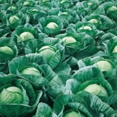 Вестри F1 семена капусты белокочанной (Seminis / Семинис)