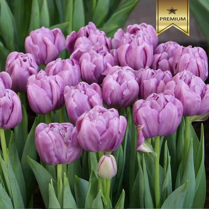 Тюльпаны пионовидные лавандовые от 9шт
