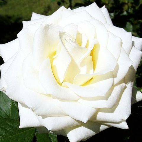 Роза чайно-гибридная Бианка (в тубе)