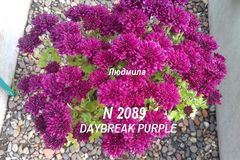 Хризантема мультифлора (шаровидная) Daybreak Purple №2089