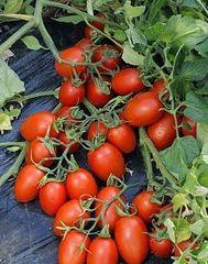 Феномена F1 семена томата детерминантного (Vilmorin / Вильморин)