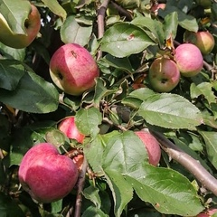 Яблоки Осенняя Красавица / 1 кг