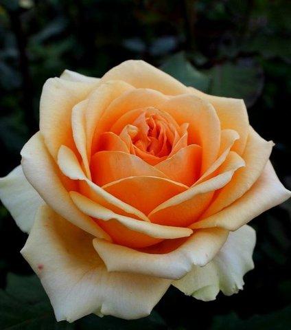 Роза чайно-гибридная Гейша (в тубе)