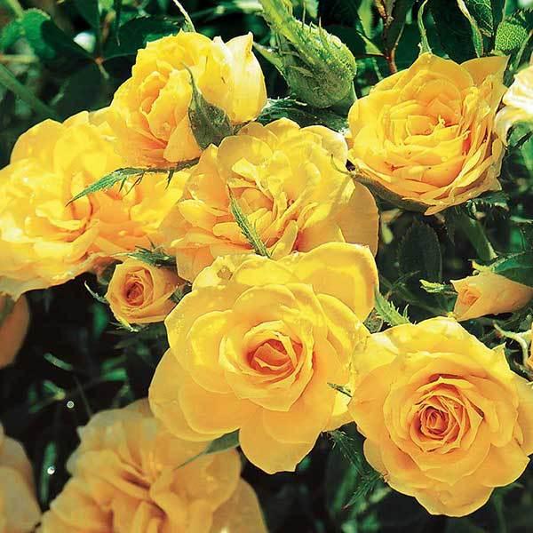 Купить Роза миниатюрная Сан Сити