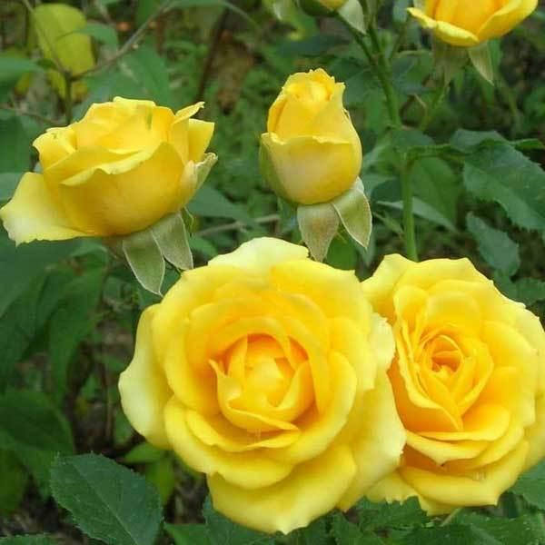 Роза миниатюрная Сан Сити СевОгород