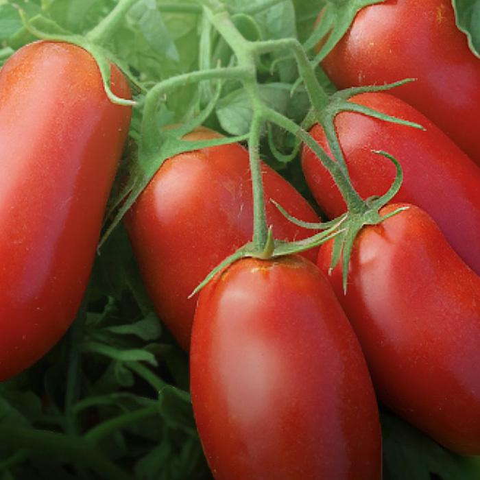 Томат Эрколь F1 семена томата процессингового (Syngenta / Сингента) Эрколь_томат_syngenta.jpg