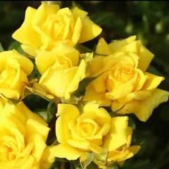 Роза миниатюрная Сан Сити Северный Огород