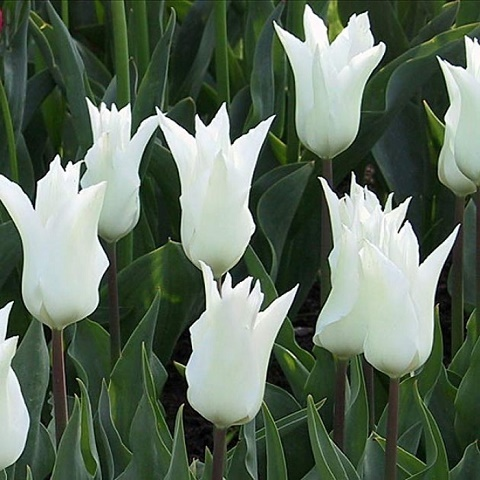 Тюльпан  Вайт Триумфатор 10 шт