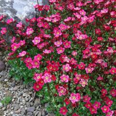 Семена цветов Камнеломка Рокко Ред, PanAmerican Seed, 5 шт.