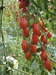 V 328 F1 семена томата индетерминантного (Vilmorin / Вильморин)