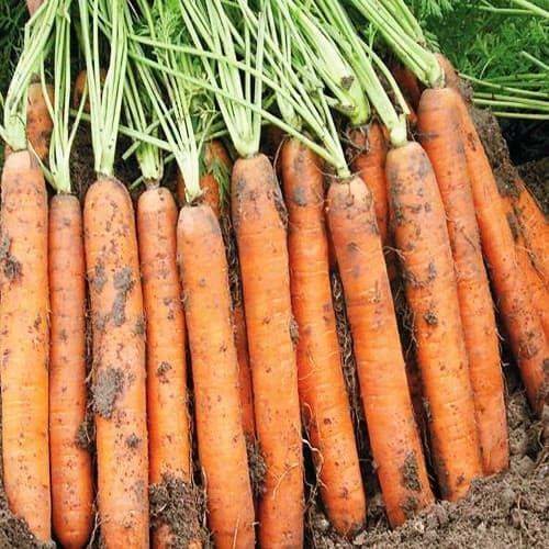 Bejo Cемена моркови Наполи F1,  Bejo, 0,5 гр. морковь_наполи-min.jpg