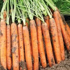 Cемена моркови Наполи F1,  Bejo, 0,5 гр.