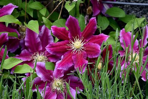 Клематис крупноцветковый Ханиа (капер)