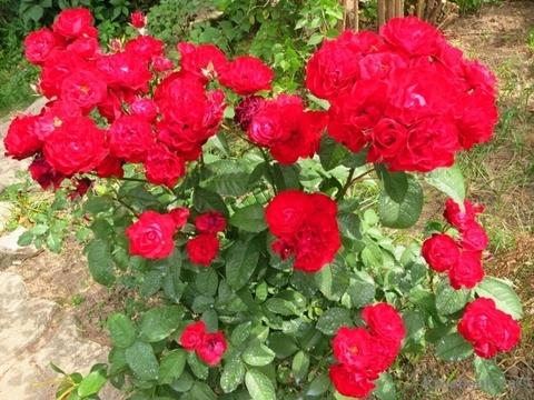 Роза миниатюрная Литтл Бакару (в тубе)
