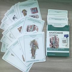 Анатомия человека. Спинномозговые нервы и органы чувств (47 карточек)