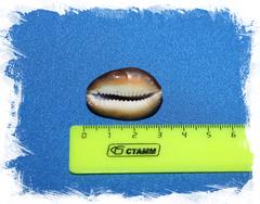 Морская ракушка Ципрея с дырочкой отшлифованная