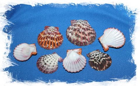 Ракушки  морского гребешка Глорипаллиум паллиум, створки