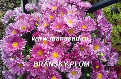 Хризантема мультифлора  Bransky Plum N 2087