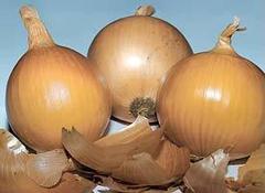 Банко семена лука репчатого (Syngenta / Сингента)
