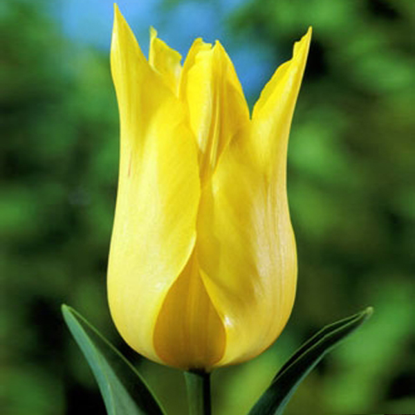 Тюльпан Лилиецветный Муншайн