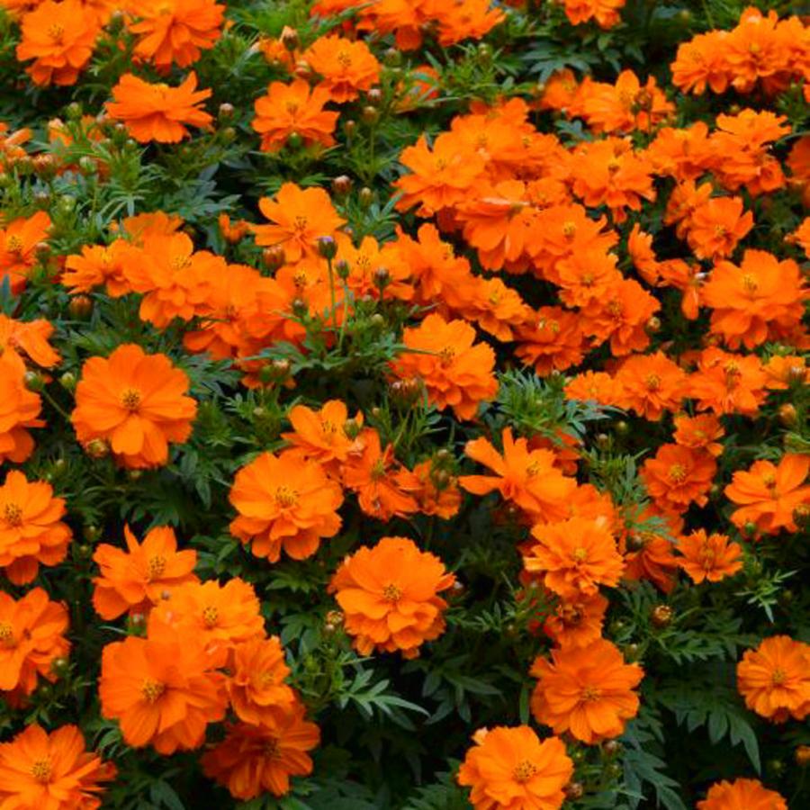 Семена цветов Семена цветов Космея Мандарин, PanAmerican Seed, 10 шт. MANDARIN.png