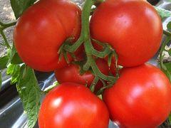Агилис F1 семена томата индетерминантного (Enza Zaden / Энза Заден)