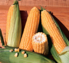 Бостон F1 семена кукурузы (Syngenta / Сингента)